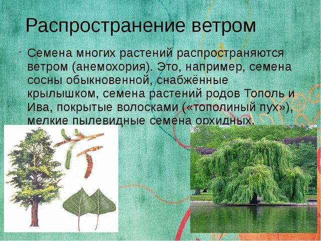 Семена многих растений распространяются ветром (анемохория). Это, например, с...