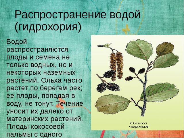 Распространение водой (гидрохория) Водой распространяются плоды и семена не т...