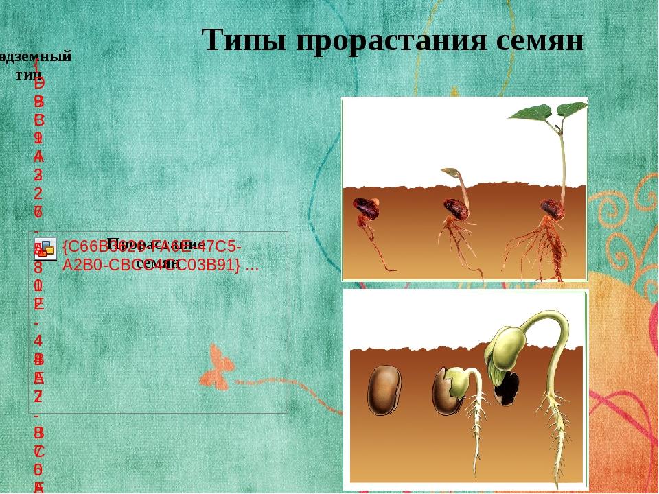 Типы прорастания семян По способу прорастания растения делятся на два типа: п...
