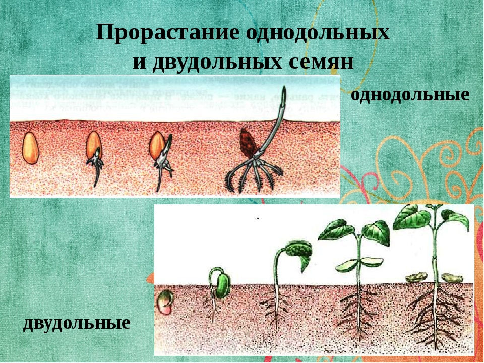 Прорастание однодольных и двудольных семян однодольные двудольные