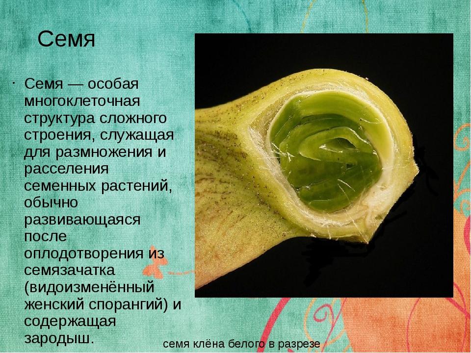 Семя Семя — особая многоклеточная структура сложного строения, служащая для р...