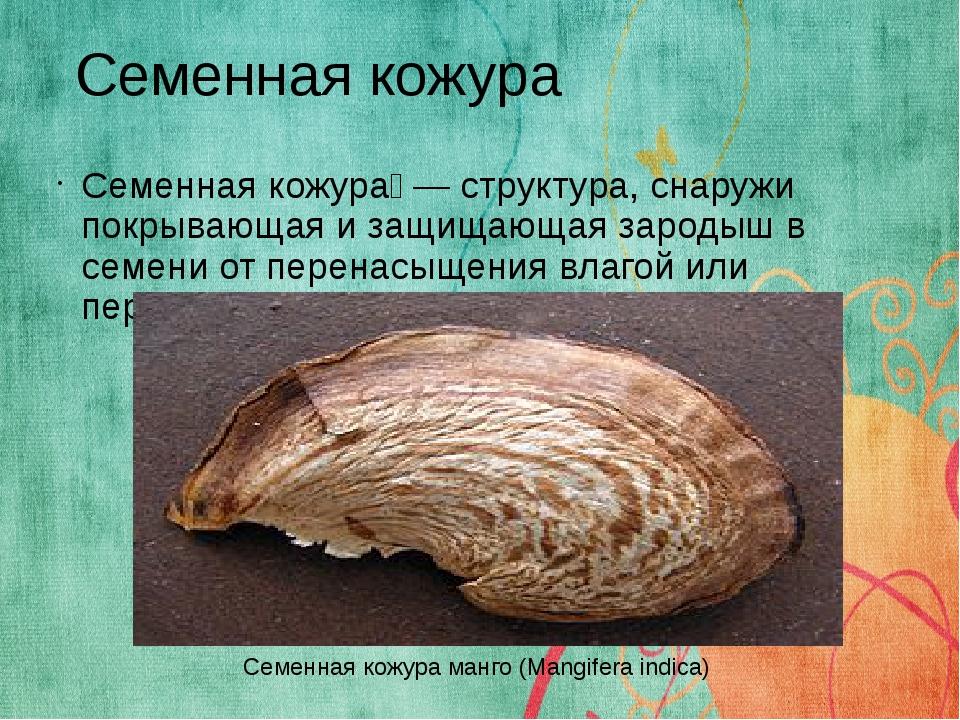 Семенная кожура́ — структура, снаружи покрывающая и защищающая зародыш в семе...