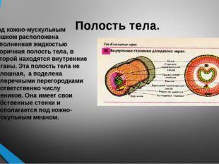 Полость тела. Под кожно-мускульным мешком расположена заполненная жидкостью в