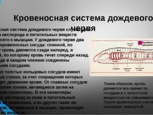 Кровеносная система дождевого червя Кровеносная система дождевого червя служи