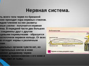 Нервная система. Вдоль всего тела червя по брюшной стороне проходит пара нерв