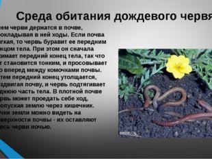 Среда обитания дождевого червя Днем черви держатся в почве, прокладывая в ней