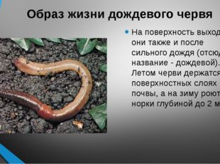 Образ жизни дождевого червя На поверхность выходят они также и после сильного