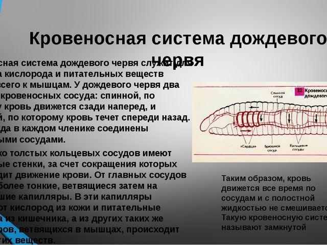 Кровеносная система дождевого червя Кровеносная система дождевого червя служи...