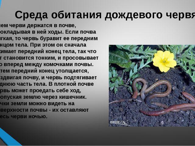 Среда обитания дождевого червя Днем черви держатся в почве, прокладывая в ней...