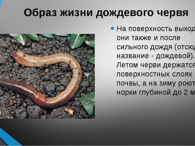 Образ жизни дождевого червя На поверхность выходят они также и после сильного...