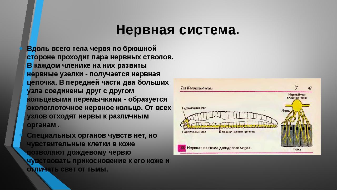 Нервная система. Вдоль всего тела червя по брюшной стороне проходит пара нерв...