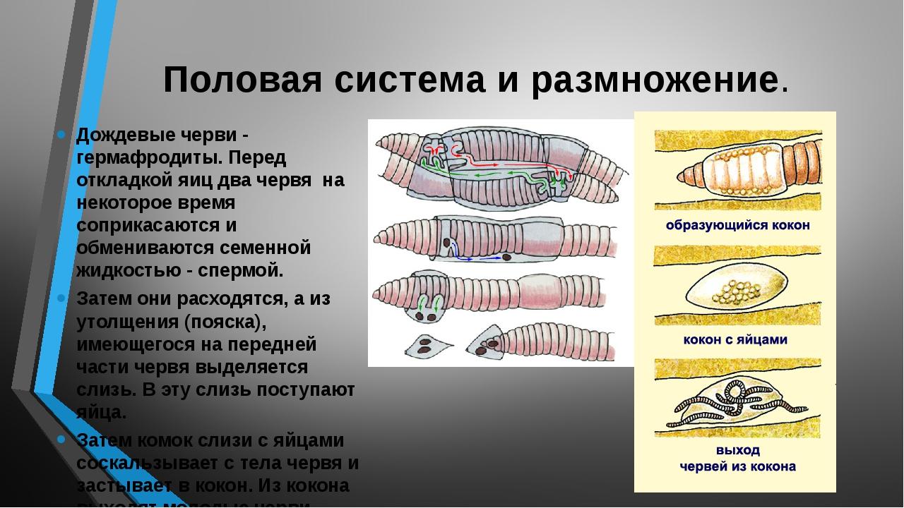 Половая система и размножение. Дождевые черви - гермафродиты. Перед откладкой...