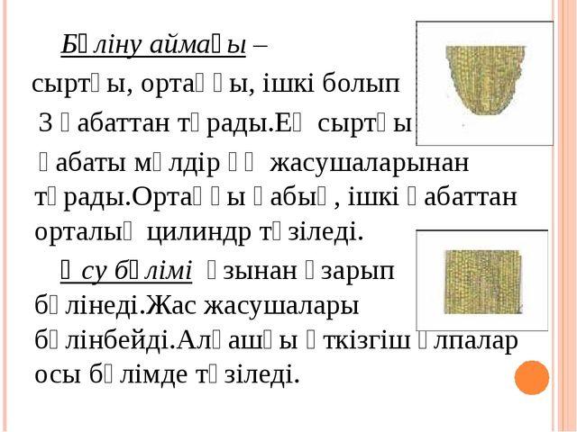 Бөліну аймағы – сыртқы, ортаңғы, ішкі болып 3 қабаттан тұрады.Ең сыртқы қаба...