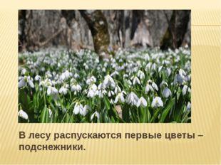 В лесу распускаются первые цветы – подснежники.