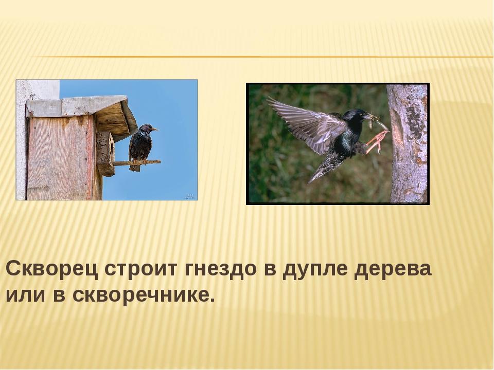 Скворец строит гнездо в дупле дерева или в скворечнике.