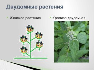 Двудомные растения Женское растение Крапива двудомная