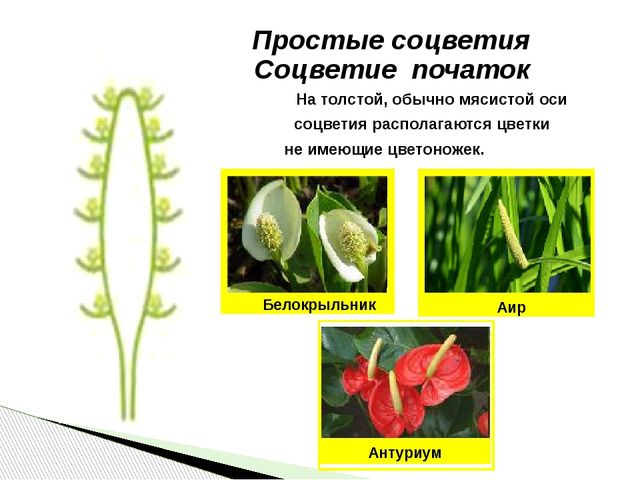 Простые соцветия Соцветие початок На толстой, обычно мясистой оси соцветия ра...