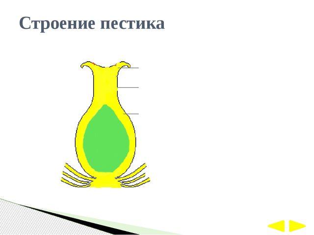 Строение пестика 1 2 3 РЫЛЬЦЕ СТОЛБИК ЗАВЯЗЬ
