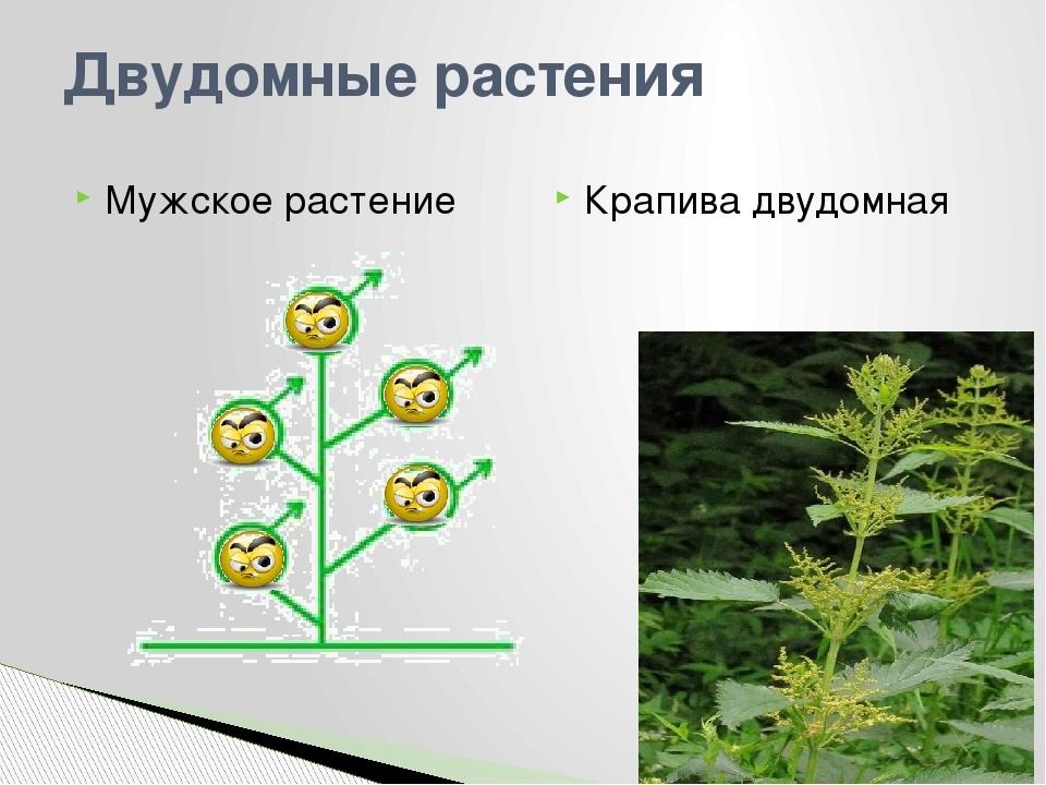 Двудомные растения Мужское растение Крапива двудомная