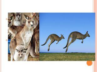 Сумка есть только у кенгурих, у самцов ее нету. Всем известно, что кенгуру о