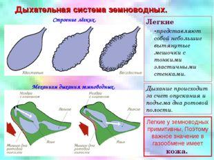 Дыхательная система земноводных. Строение лёгких. Механизм дыхания земноводны