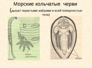 Морские кольчатые черви (дышат перистыми жабрами и всей поверхностью тела)