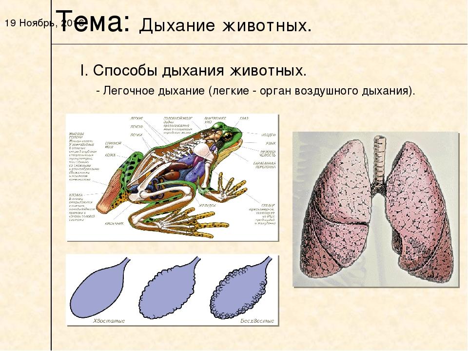 * I. Способы дыхания животных. Тема: Дыхание животных. - Легочное дыхание (ле...