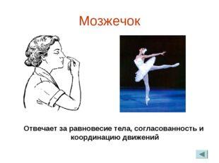 Мозжечок Отвечает за равновесие тела, согласованность и координацию движений