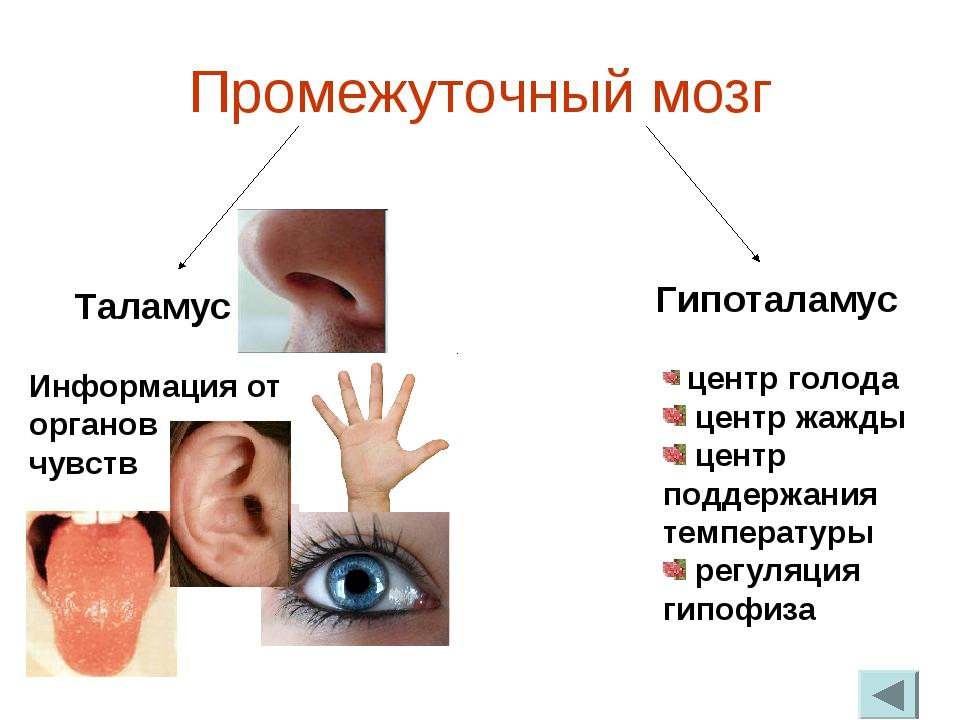 Промежуточный мозг Таламус Гипоталамус центр голода центр жажды центр поддерж...
