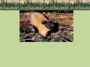 Среди интересных и экзотических видов животных непальская куница или харза,