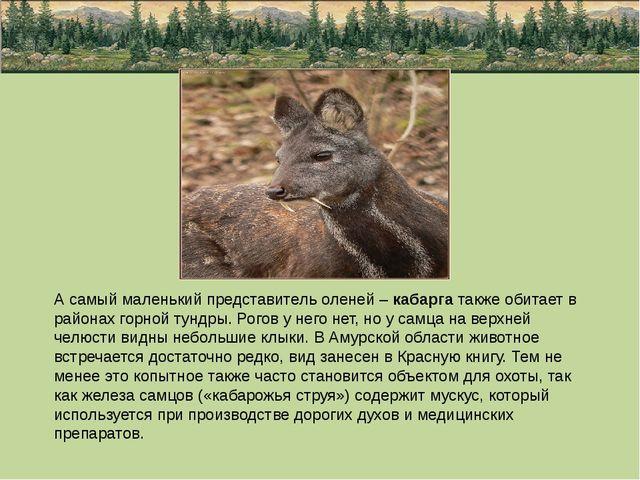 А самый маленький представитель оленей – кабарга также обитает в районах горн...