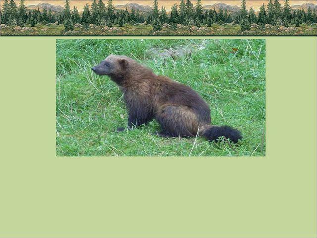 Еще один зверь севера - росомаха принадлежит к семейству куньих. Большая и л...