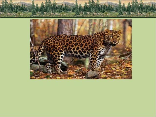 Малочисленны и другие представители семейства - амурские леопарды. Их количе...