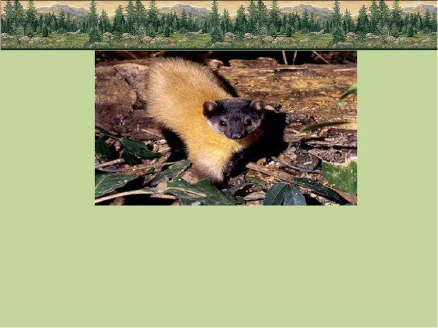 Среди интересных и экзотических видов животных непальская куница или харза,...