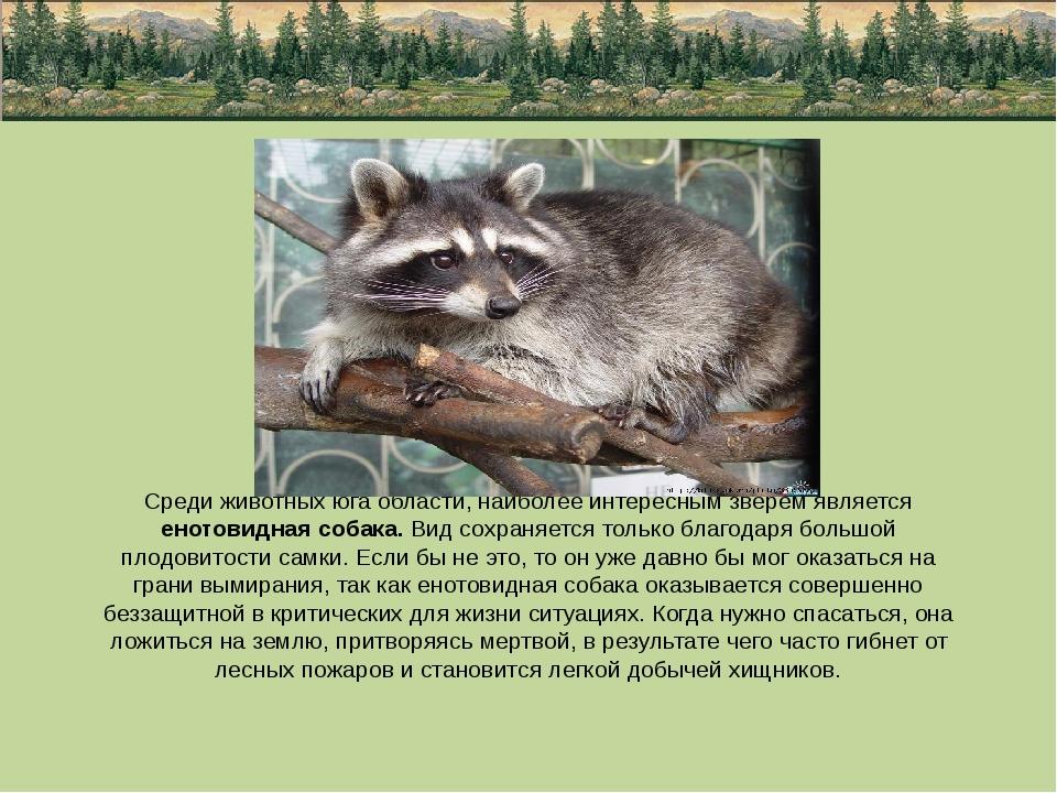 Среди животных юга области, наиболее интересным зверем является енотовидная с...