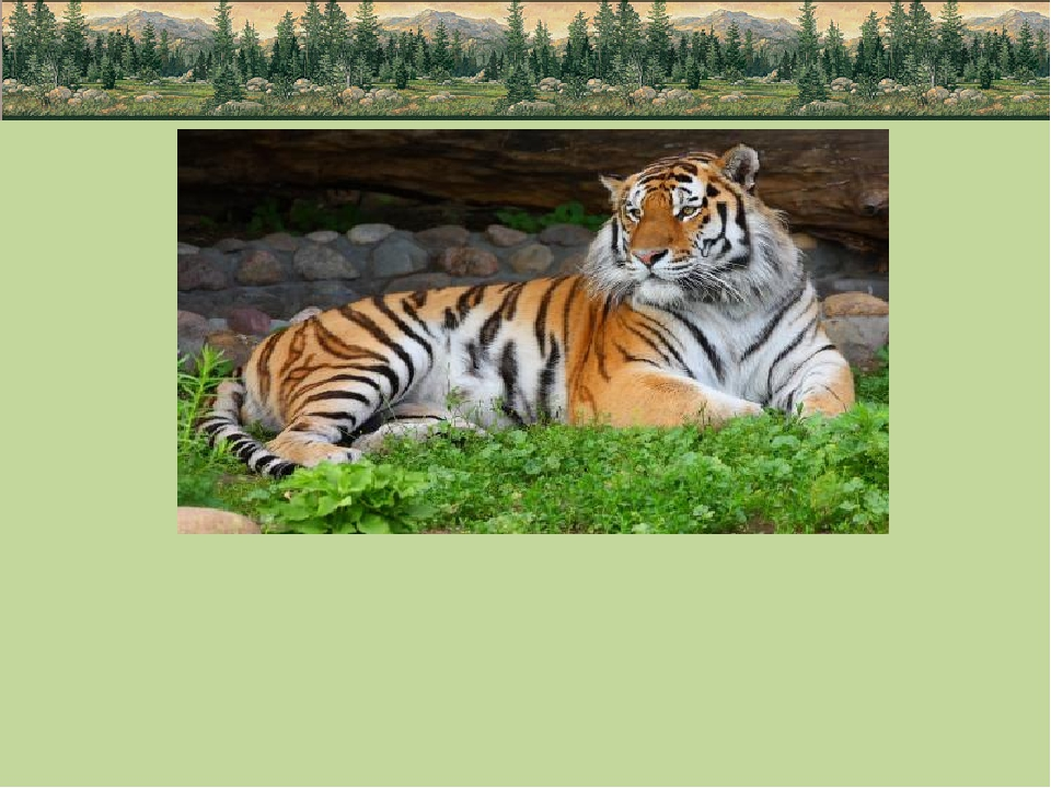 Гордостью Приамурья, безусловно, считается Амурский тигр, самое крупное живо...