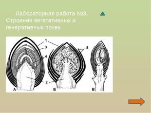 Лабораторная работа №3. Строение вегетативных и генеративных почек.