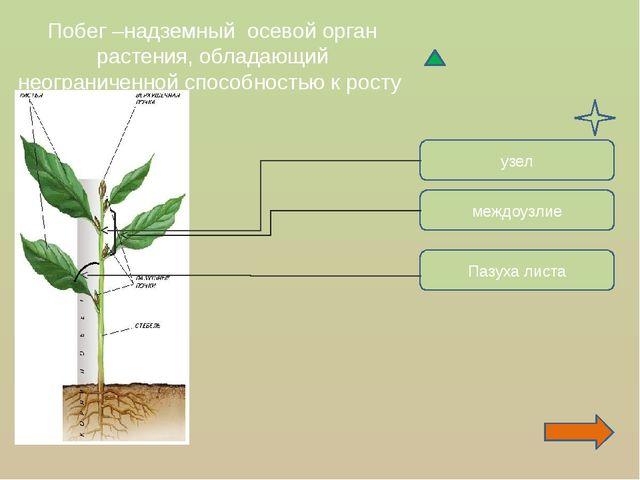 Побег –надземный осевой орган растения, обладающий неограниченной способность...