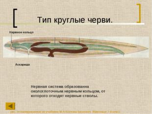 Тип круглые черви. Нервная система образованна окологлоточным нервным кольцом