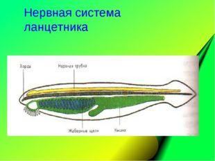 Нервная система ланцетника
