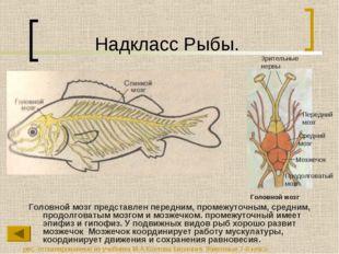 Надкласс Рыбы. Головной мозг представлен передним, промежуточным, средним, пр