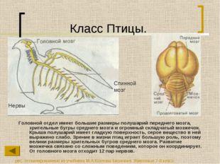 Класс Птицы. Головной отдел имеет большие размеры полушарий переднего мозга,