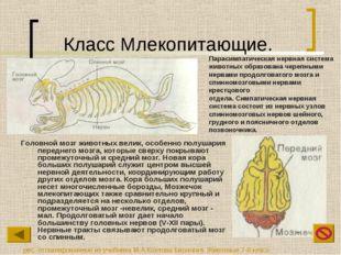 Класс Млекопитающие. Головной мозг животных велик, особенно полушария передне