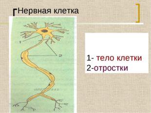 Нервная клетка 1- тело клетки 2-отростки