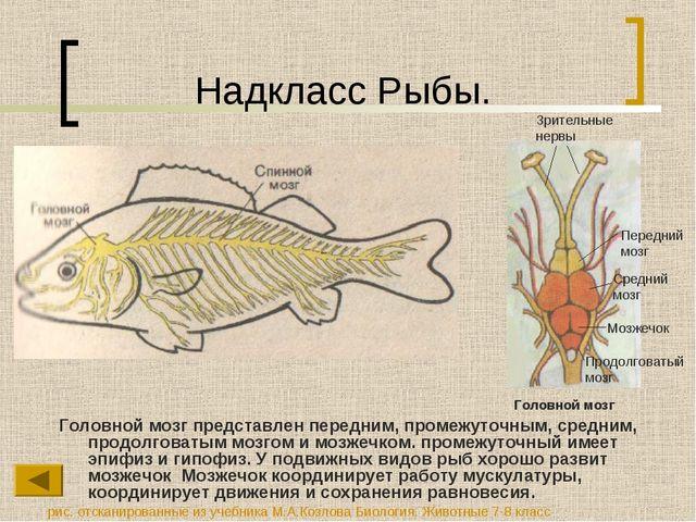 Надкласс Рыбы. Головной мозг представлен передним, промежуточным, средним, пр...