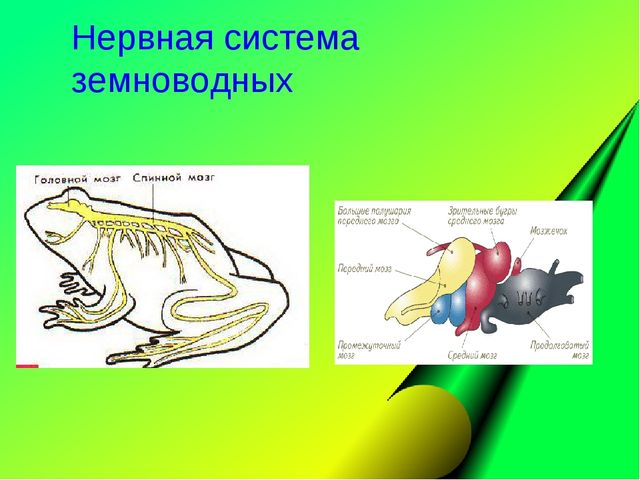 Нервная система земноводных