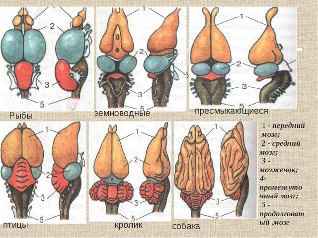 Рыбы Рыбы Рыбы земноводные пресмыкающиеся птицы кролик 1 - передний мозг; 2 -...