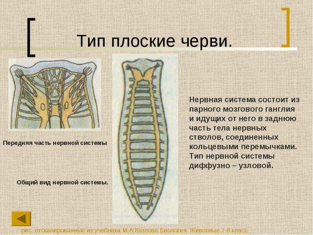 Тип плоские черви. Нервная система состоит из парного мозгового ганглия и иду...
