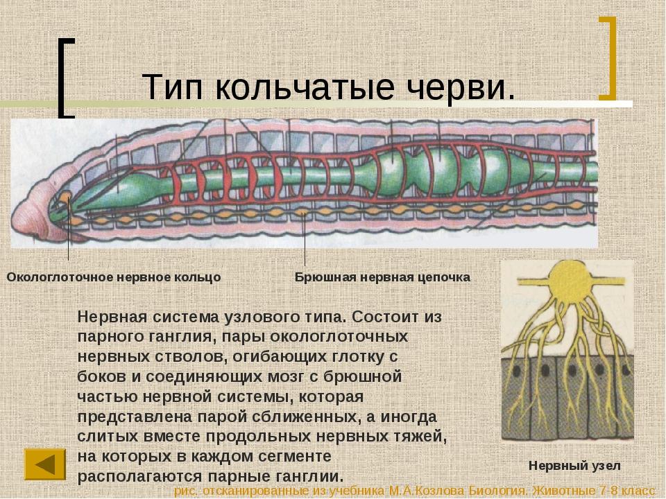 Тип кольчатые черви. Нервная система узлового типа. Состоит из парного гангли...