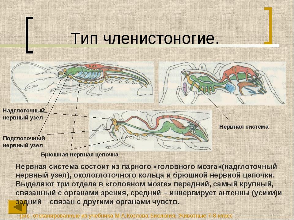 Тип членистоногие. Нервная система состоит из парного «головного мозга»(надгл...